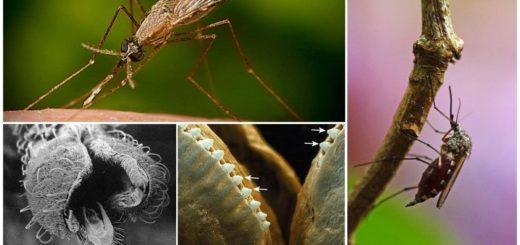 Зубы у комара