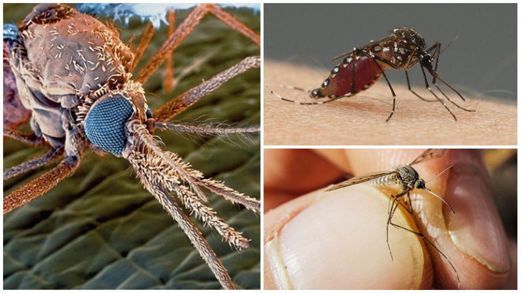 Комар под микроскопом