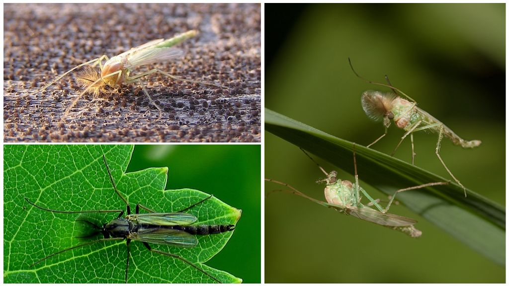 Комар-звонец или дергун