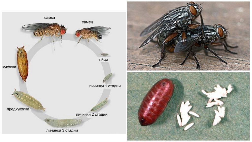 Стадии развития мухи
