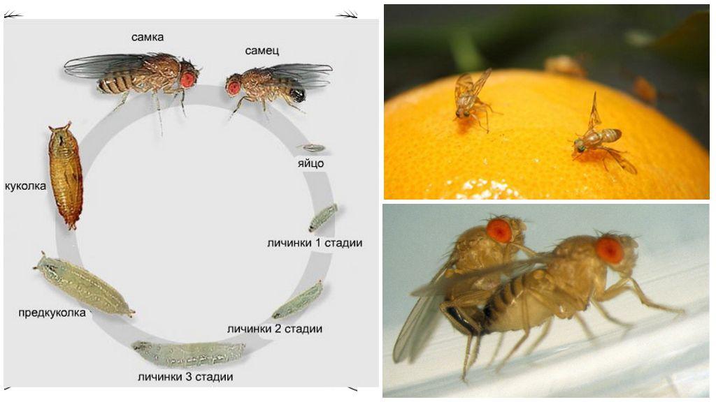 Размножение мух дрозофил