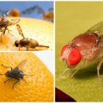 Виды мух дрозофил