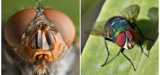 Глаза мухи