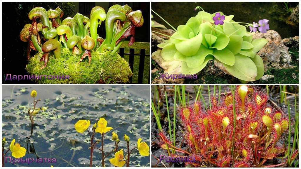 Растения, которые едят мух