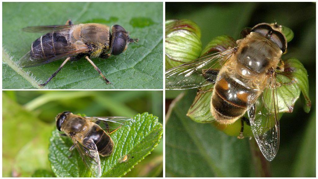 Ильница – пчеловидка (ильница цепкая)