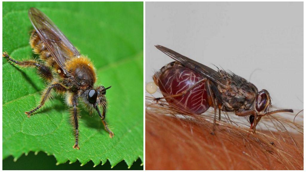 Муха–ктырь и муха це-це