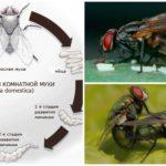 Жизненный цикл комнатной мухи