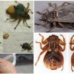 Размножение лосиной мухи