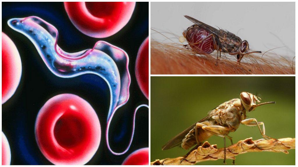 Трипаносомоз от мухи цеце