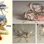 Жизненный цикл мухи цеце