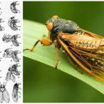 Жизненный цикл цикады