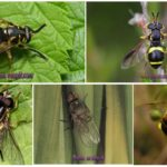 Разновидность мухи журчалки
