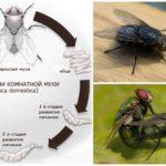 Цикл размножения мухи