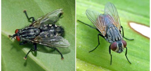 Серая и вольфартова мясная муха