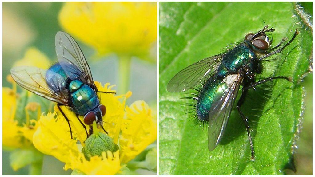 Синяя и зеленая мясная муха