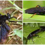 Гигантская муха Mydas fly