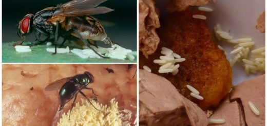 Яйца мухи