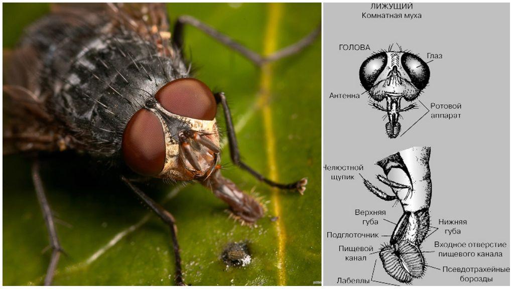 Строение головы у мухи