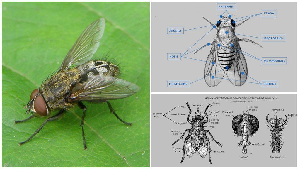 Строение мухи