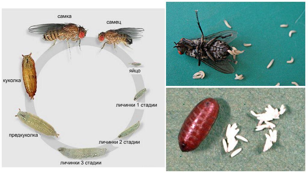 Жизненный цикл вольфартовой мухи