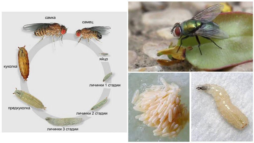 Размножение зеленой мухи