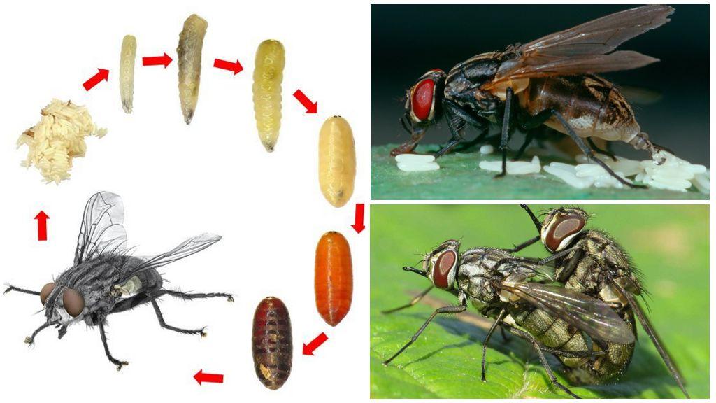 Цикл размножение мухи жигалки