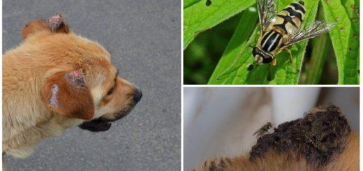 Мухи кусают уши собаке