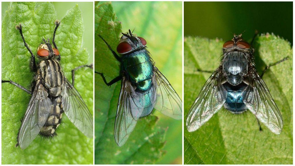 Разновидности мясной мухи
