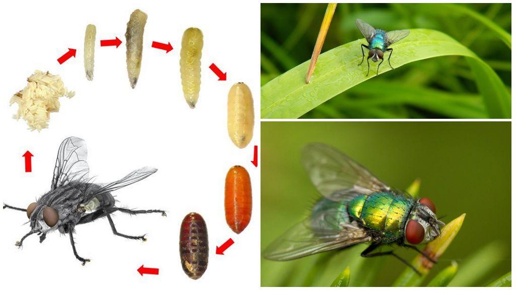 Навозная муха