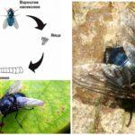 Цикл развития синей мясной мухи