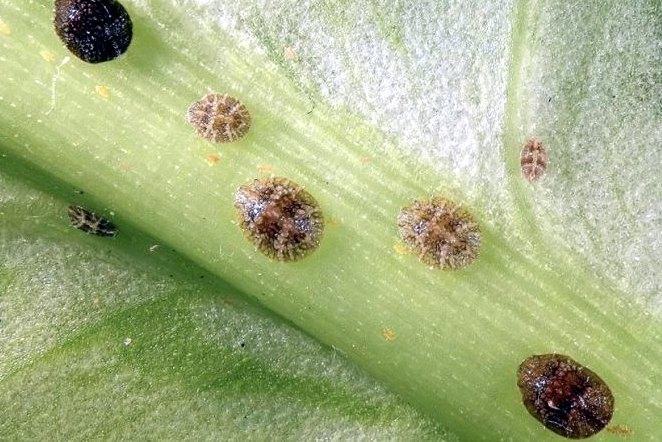 Осторожно, щитовка на комнатных растениях: советы цветоводов