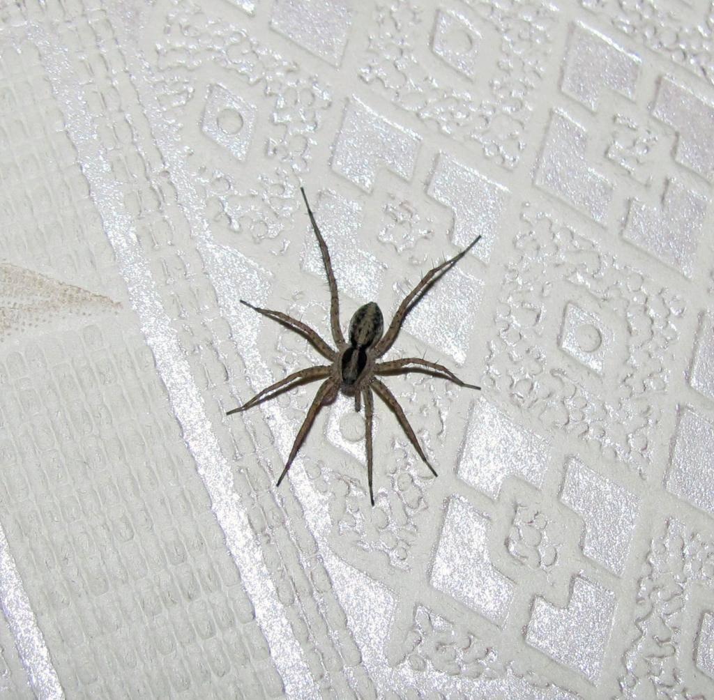 маленький серый паук