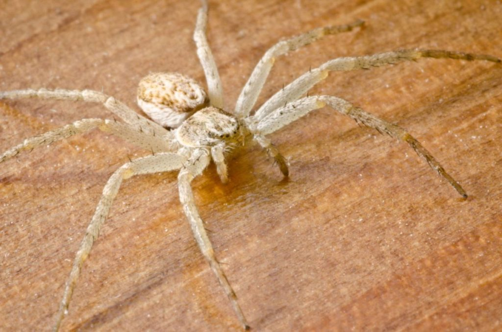 белый домашний паук