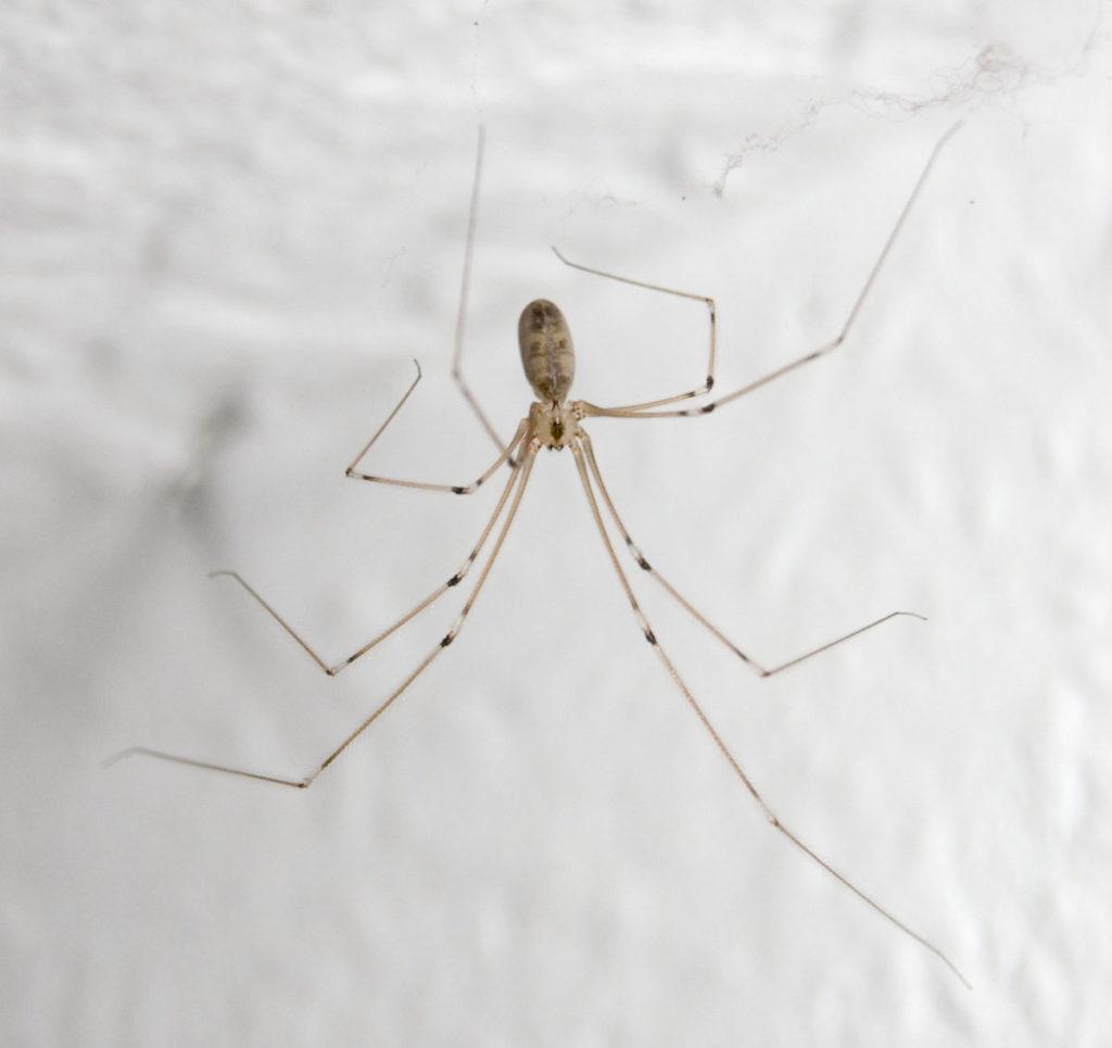 Домашние пауки: основные виды, опасность и способы борьбы
