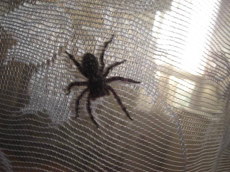 Черный домашний паук